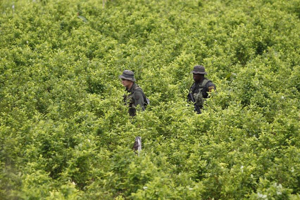 Colombian Cocaine Cultivation